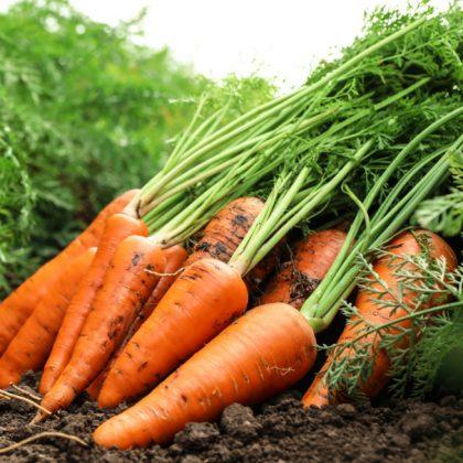 mrkev-maxima-f1-pozdni-daucus-carota-semena-900-ks